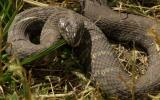 Photo of a northern watersnake rearing back in grass on land.