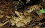 Image of an osage copperhead