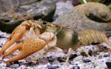 Photo of an Ozark crayfish.