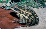 Image of a pickerel frog