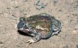 Image of a plains spadefoot