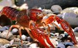 Photo of a red swamp crawfish or crayfish.