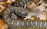 Image of a speckled kingsnake