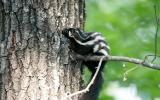 Image of a spotted skunk