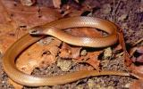 Image of a western smooth earthsnake
