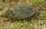 Eastern musk turtle (stinkpot)