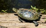 Photo of a southern painted turtle basking on a log.