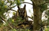Image of long-eared owl.