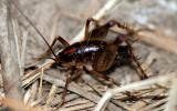 Image of camel cricket (cave cricket).