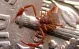 Image of a deceased pseudoscorpion on a US dime