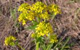 Photo of yellow rocket flower clusters