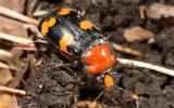 Photo of an American burying beetle