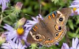 Common buckeye butterfly nectaring on a flower, wings spread