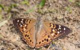 Photo of a Hackberry Emperor