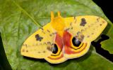Photo of a male Io Moth