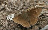 Photo of a Northern Cloudywing