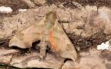 Photo of a Virginia Creeper Sphinx moth