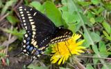 Photo of a Black Swallowtail, Male, Wings Spread