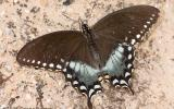 Photo of a Spicebush Swallowtail, Male, Wings Spread