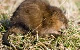 Photograph of a muskrat standing on grass