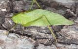 image of a False Katydid