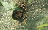 Photo of grass spider poised in funnel of her web