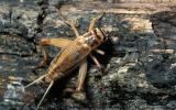 Photo of an adult female house cricket walking on bark