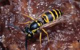 Photo of an eastern yellowjacket