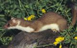 Photo of long-tailed weasel