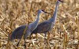 Photo of 2 sandhill cranes in corn stubble