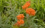 Photo of butterfly weed plant with flowers