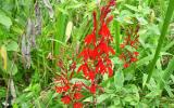 Photo of cardinal flower plants in flower