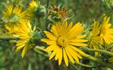 Photo of compass plant flowers