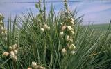 Photo of soapweed, a type of yucca