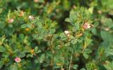 Photo of Korean lespedeza plant with flowers