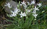 Photo of star of Bethlehem cluster of plants with flowers