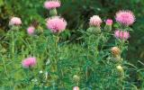 Photo of tall thistle plants with flowers