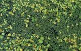 Photo of various duckweeds and watermeal on water surface