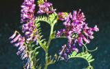 Photo of hairy vetch flower clusters and leaves