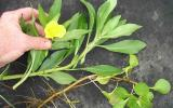 Photo of water primrose plant showing typical roots, leaves, stems, and a flower