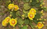 Photo of eastern prickly pear plant with flowers