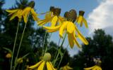 Photo of several grayhead prairie coneflowers with sky in background