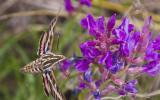 A white-lined sphinx moth sips nectar from a purple locoweed flower