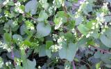 Photo of climbing false buckwheat vines, leaves, and flowers.