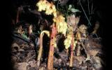 Photo of several pinesap plants showing multiple flowers per stalk.