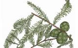 Illustration of bald cypress leaves and cones.