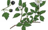 Illustration of dewberry leaves, flowers, fruits.