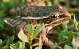 Photo of a plains leopard frog in grass.
