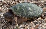 Photo of a snapping turtle walking on land with algae on shell.