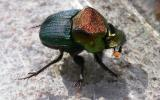Photo of a rainbow scarab beetle, male.